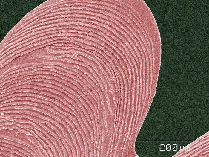 Des écailles de poisson en image au microscope.