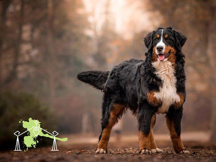 Signe astrologique: la meilleure race de chien pour les Balances.