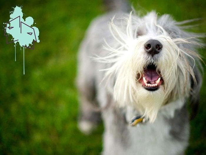 Signe astrologique: la meilleure race de chien pour les Gémeaux.
