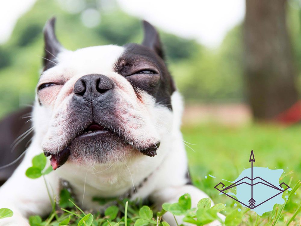 Signe astrologique: la meilleure race de chien pour les Sagittaires.