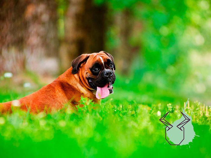 Signe astrologique: la meilleure race de chien pour les Taureaux.