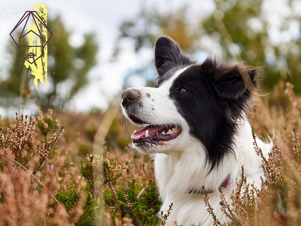 Signe astrologique: la meilleure race de chien pour les Vierges.