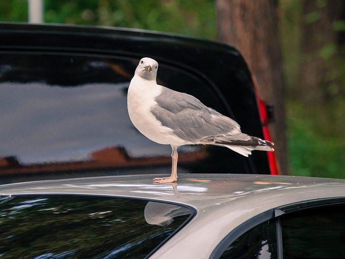 Entretien de l'auto: les déjections d'oiseaux peuvent abîmer votre voiture.