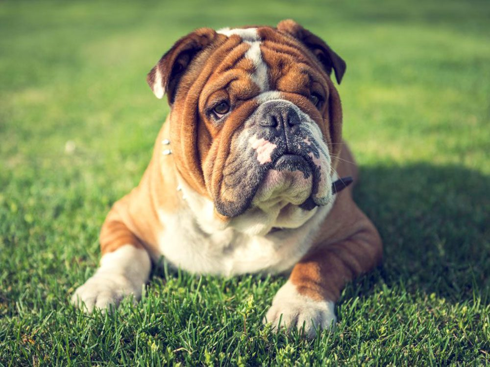 La Bulldog anglais est l'une des races de chien qu'il fallait deviner!