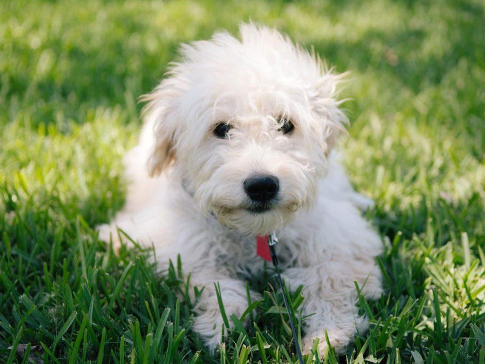 Le Mini goldendoodle est l'une des races de chien qu'il fallait deviner!