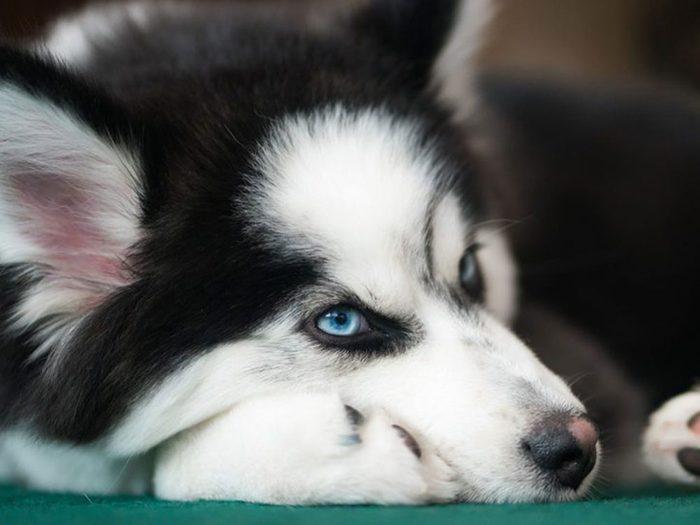 Le husky sibérien est généralement la race de chien de sa mère.