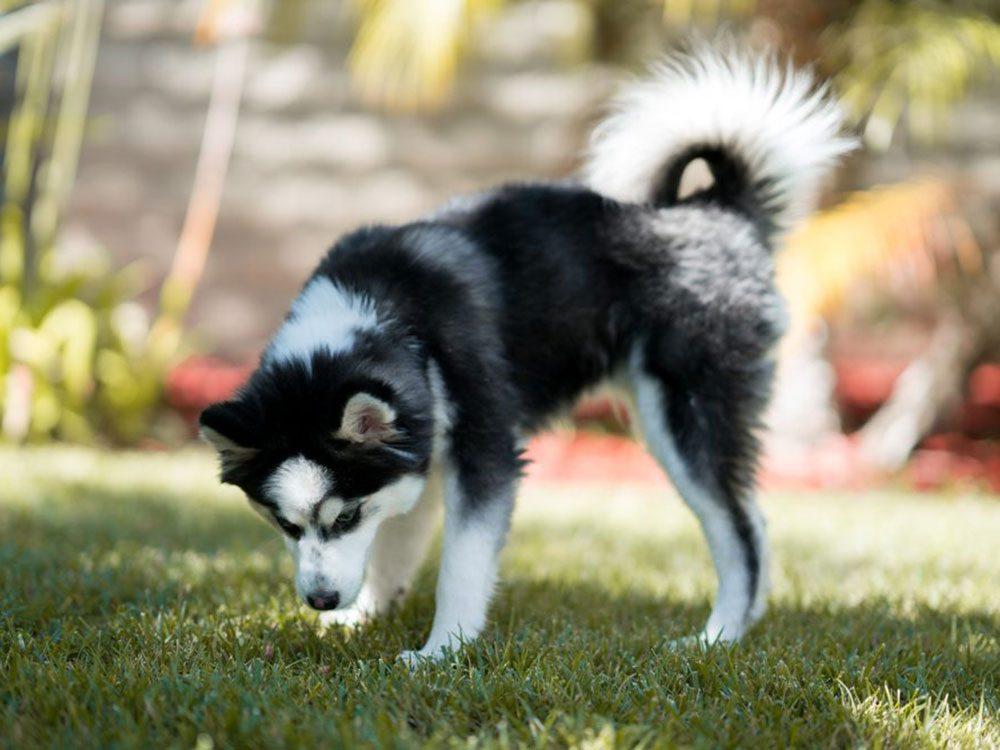 Le Pomsky est l'une des races de chien qu'il fallait deviner!