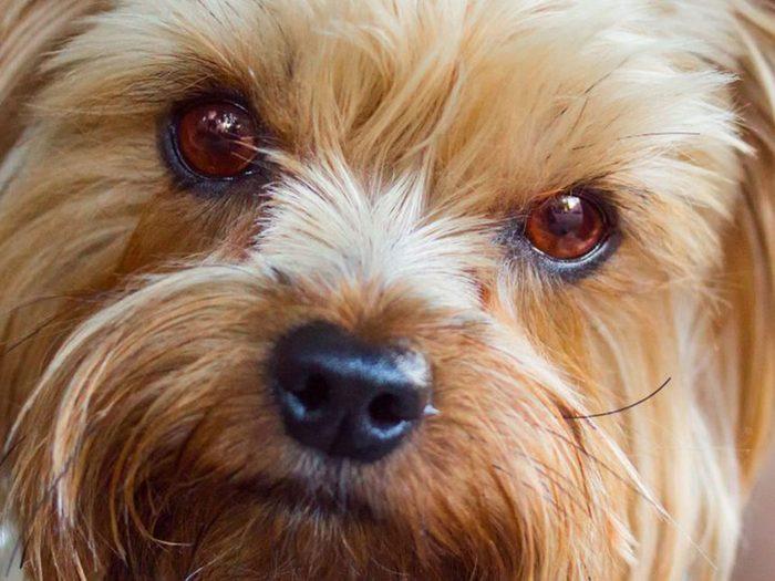 Quelle race de chien se cache derrière ce chiot de luxe?
