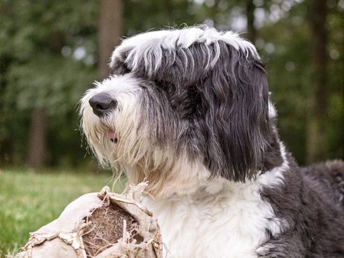Le chien de berger anglais est l'une des races de chien qu'il fallait deviner!