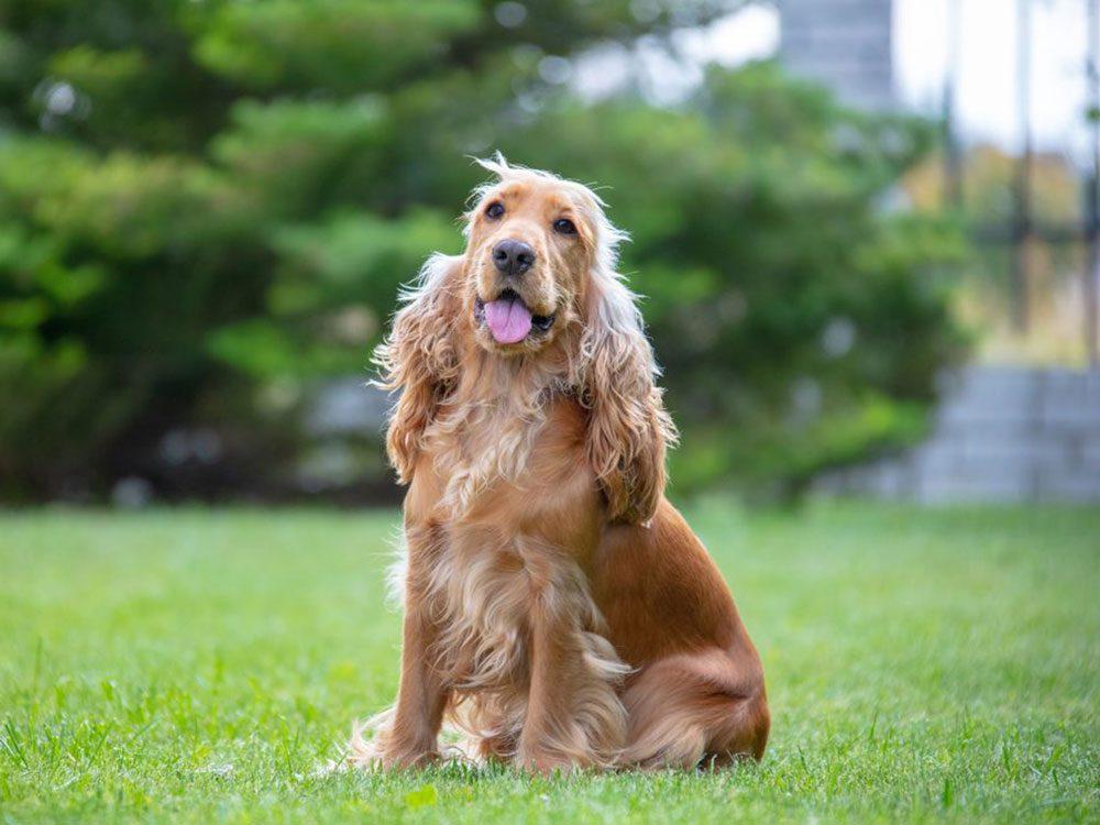 Le Cocker est l'une des races de chien qu'il fallait deviner!