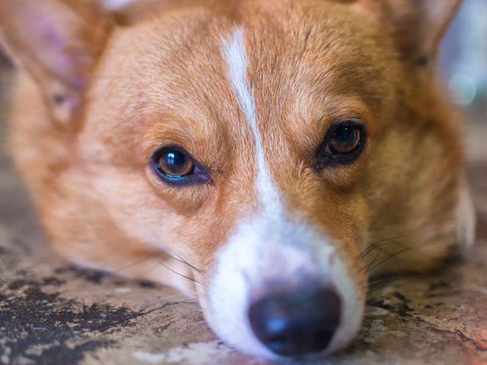 Quelle race de chien se cache derrière ce visage rusé?