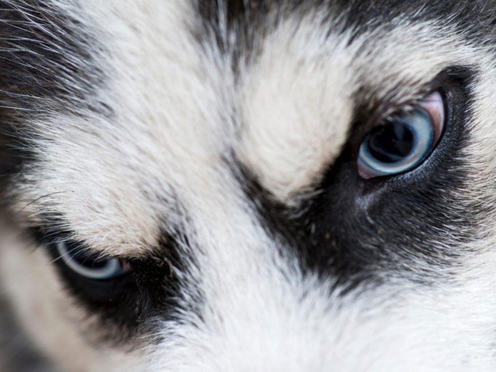 C'est une race de chien qui préfère la neige au sable et qui communique souvent par le hurlement.