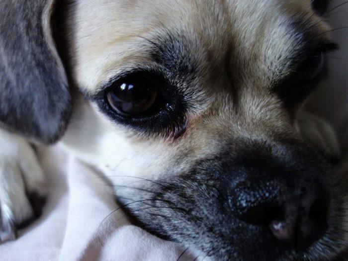 Quelle race de chien se cache derrière cette petite bouille super mignonne?