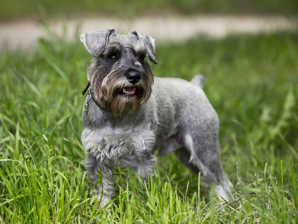 Le Schnauzer miniature est l'une des races de chien qu'il fallait deviner!