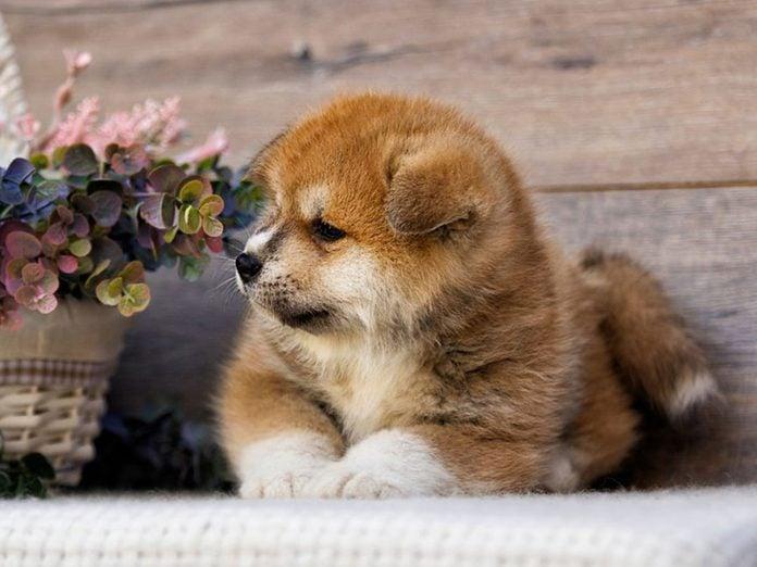 Le Akita Inu est l'une des races de chiens dont les chiots sont les plus mignons!