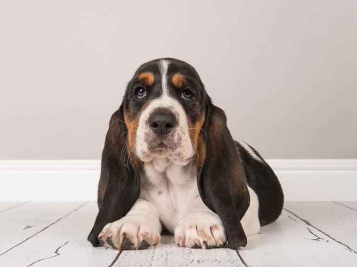 Le Basset hound est l'une des races de chiens dont les chiots sont les plus mignons!