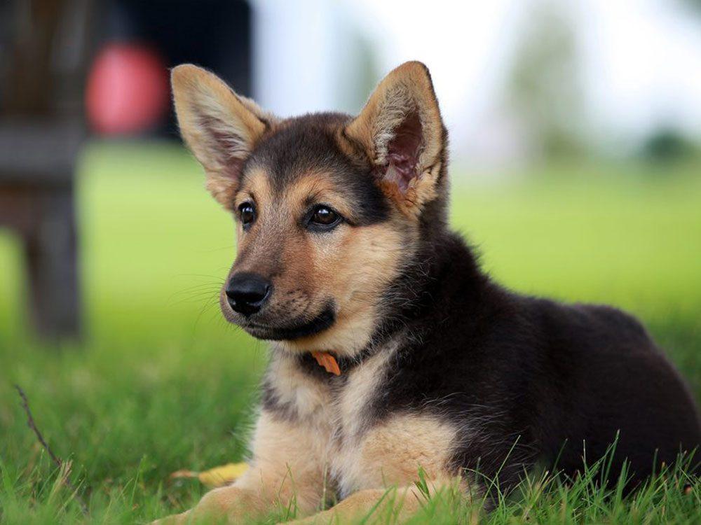 Le Berger allemand est l'une des races de chiens dont les chiots sont les plus mignons!