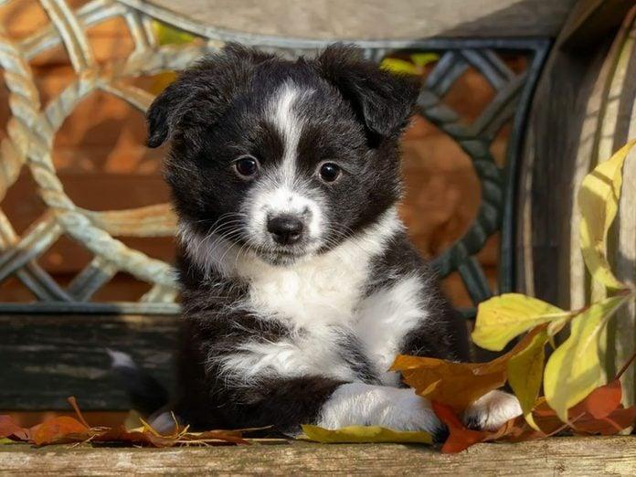 Le Berger américain miniature est l'une des races de chiens dont les chiots sont les plus mignons!