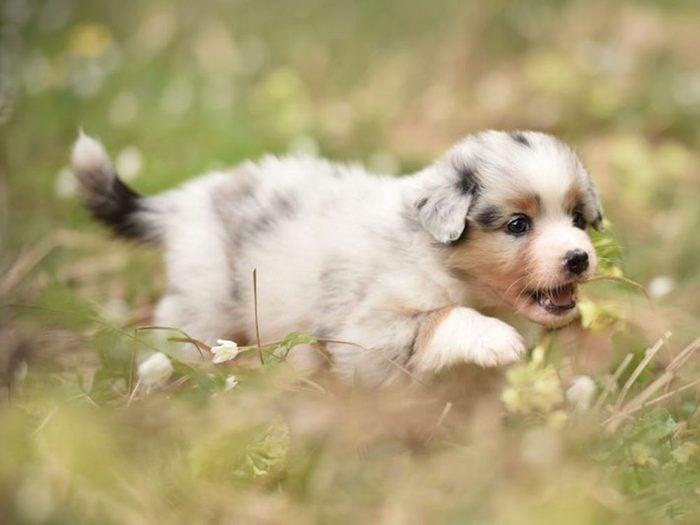 Le Berger australien est l'une des races de chiens dont les chiots sont les plus mignons!