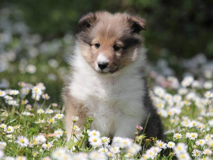 Le Berger des Shetland est l'une des races de chiens dont les chiots sont les plus mignons!