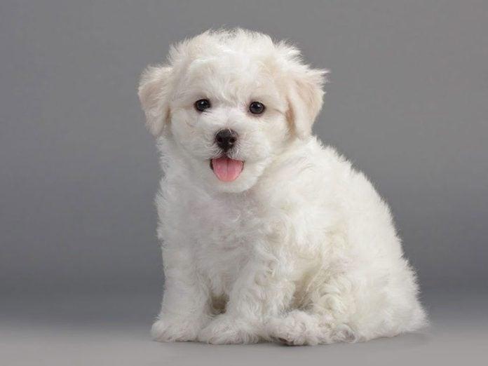 Le Bichon frisé est l'une des races de chiens dont les chiots sont les plus mignons!