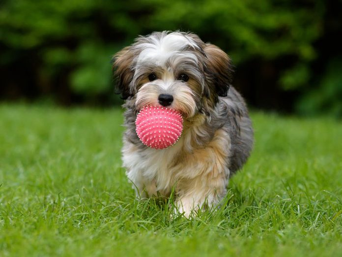 Le Bichon havanais est l'une des races de chiens dont les chiots sont les plus mignons!