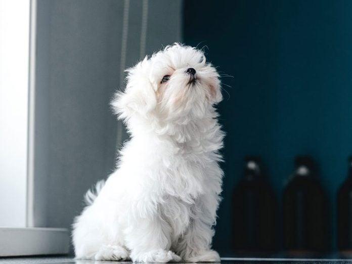 Le Bichon maltais est l'une des races de chiens dont les chiots sont les plus mignons!