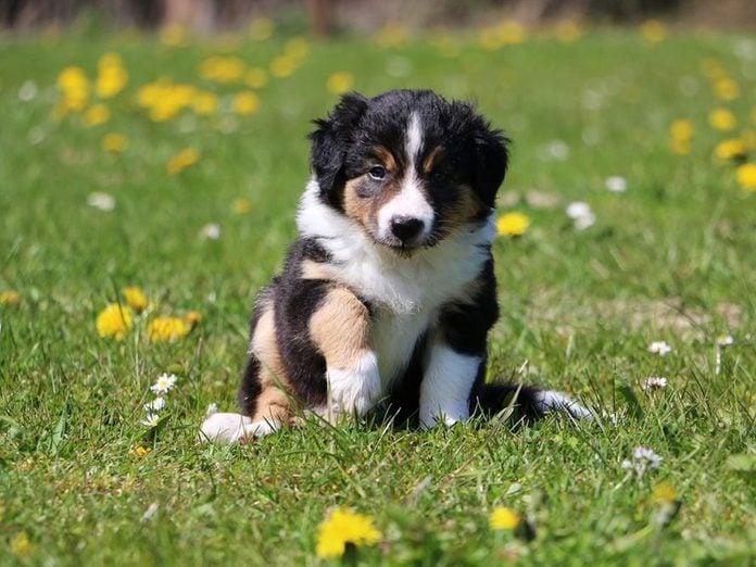Le Border collie est l'une des races de chiens dont les chiots sont les plus mignons!