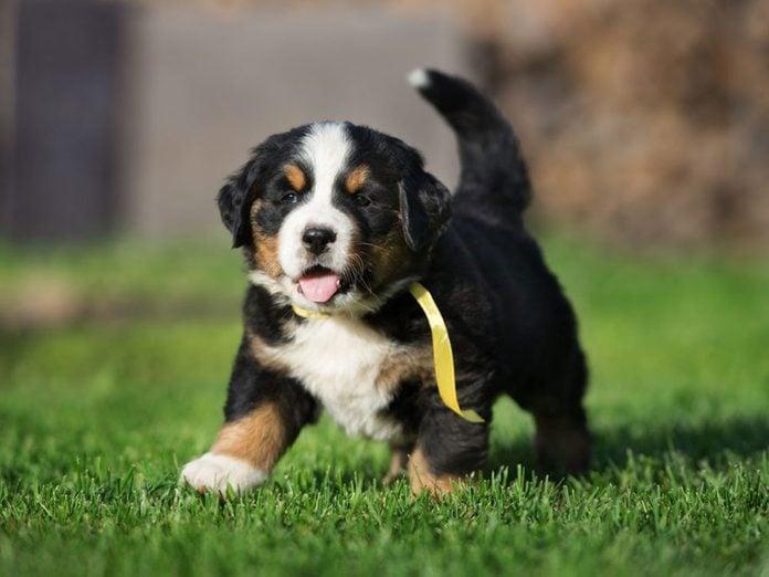 Le Bouvier bernois est l'une des races de chiens dont les chiots sont les plus mignons!