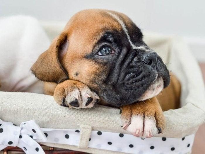Le Boxer est l'une des races de chiens dont les chiots sont les plus mignons!