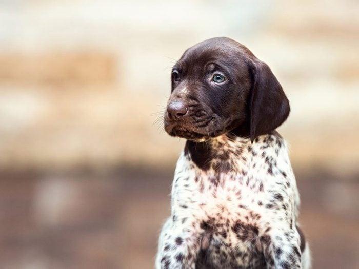 Le Braque allemand à poil court est l'une des races de chiens dont les chiots sont les plus mignons!