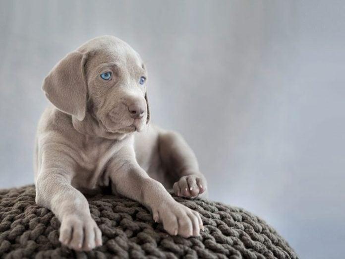 Le Braque de Weimar est l'une des races de chiens dont les chiots sont les plus mignons!