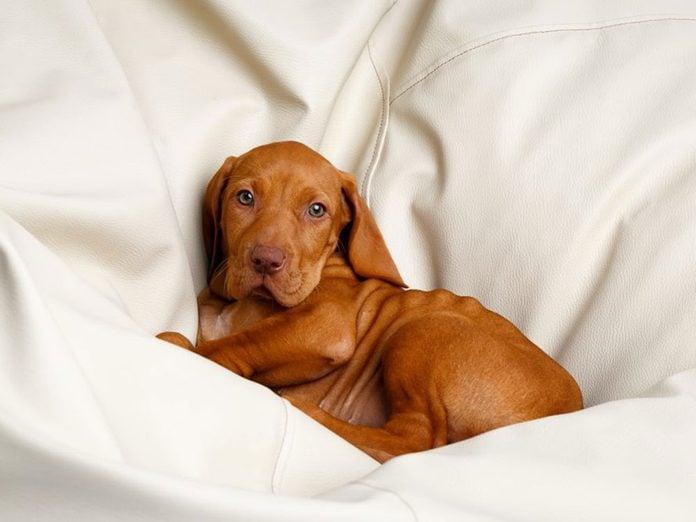 Le Braque hongrois à poil court est l'une des races de chiens dont les chiots sont les plus mignons!