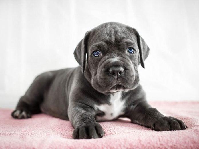 Le Cane Corso est l'une des races de chiens dont les chiots sont les plus mignons!