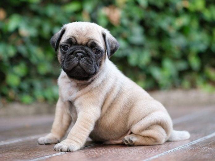 Le Carlin est l'une des races de chiens dont les chiots sont les plus mignons!