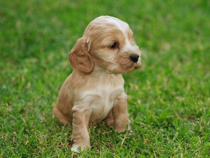 Le Cocker spaniel anglais est l'une des races de chiens dont les chiots sont les plus mignons!