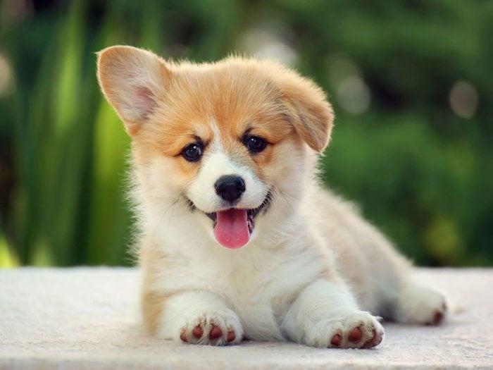 Le Corgi gallois Pembroke est l'une des races de chiens dont les chiots sont les plus mignons!