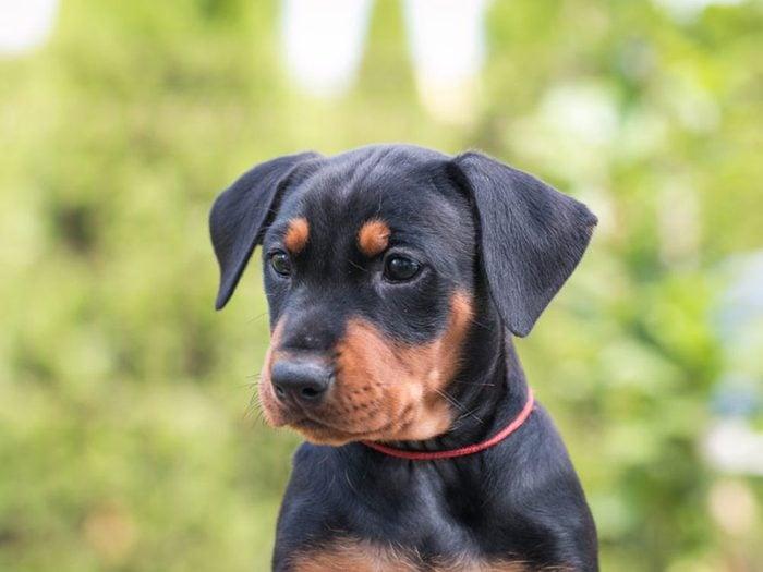 Le Doberman est l'une des races de chiens dont les chiots sont les plus mignons!