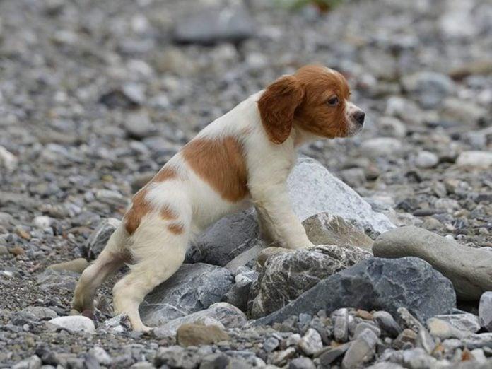 L'Épagneul breton est l'une des races de chiens dont les chiots sont les plus mignons!