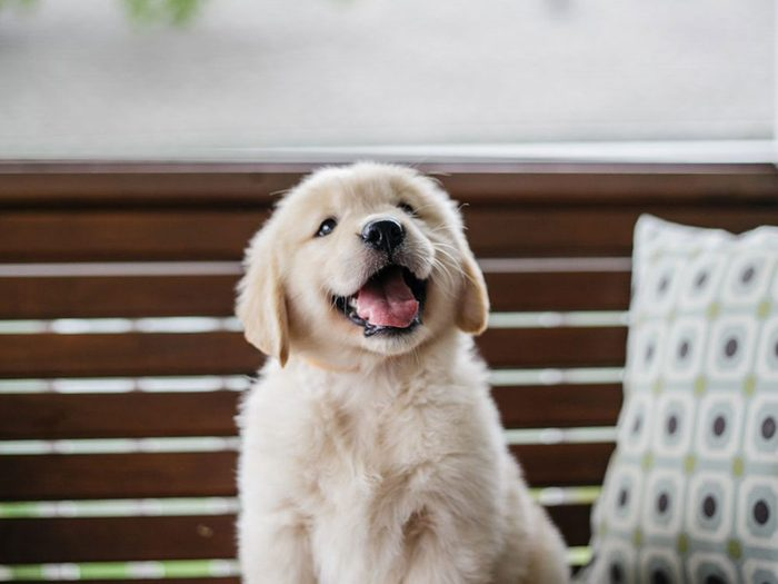 Le Golden retriever est l'une des races de chiens dont les chiots sont les plus mignons!