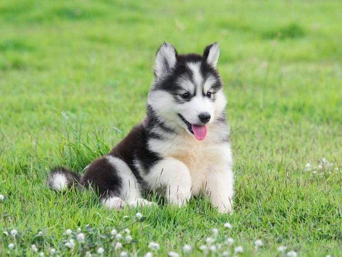 Le Husky de Sibérie est l'une des races de chiens dont les chiots sont les plus mignons!