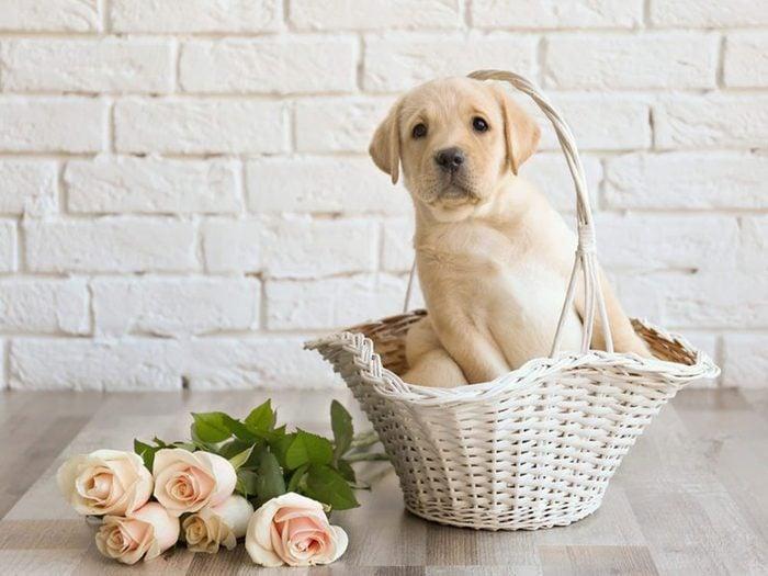 Le Labrador est l'une des races de chiens dont les chiots sont les plus mignons!