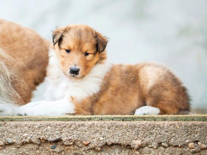 Le Colley est l'une des races de chiens dont les chiots sont les plus mignons!
