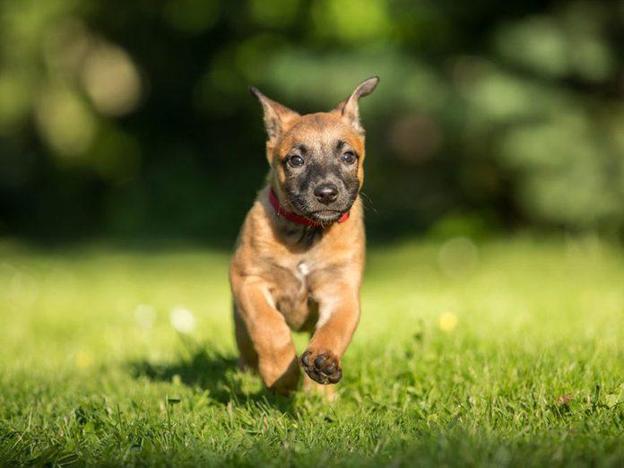 Le Malinois est l'une des races de chiens dont les chiots sont les plus mignons!