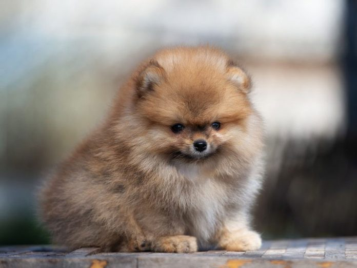 Le Poméranien est l'une des races de chiens dont les chiots sont les plus mignons!