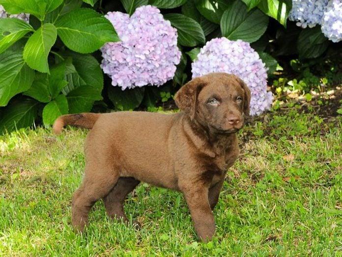 Le Retriever de la baie de Chesapeake est l'une des races de chiens dont les chiots sont les plus mignons!