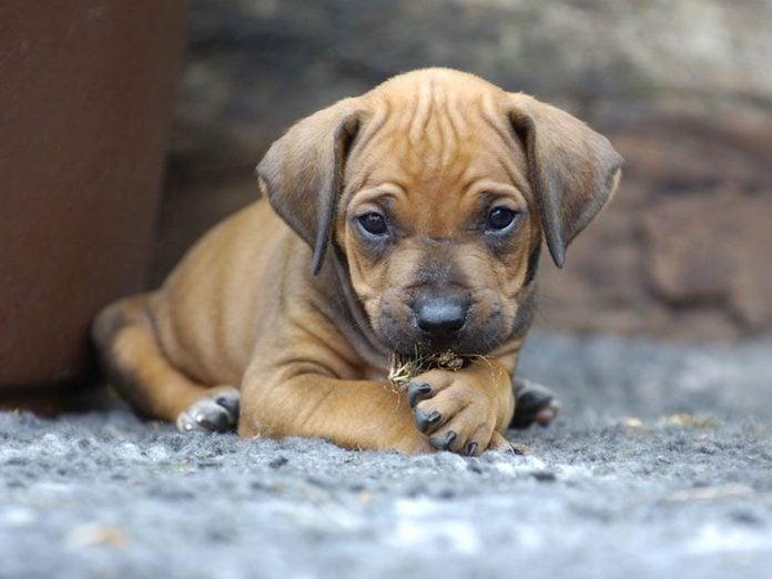 Le Rhodesian Ridgeback est l'une des races de chiens dont les chiots sont les plus mignons!