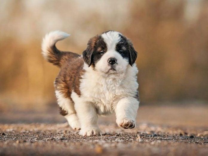 Le Saint-Bernard est l'une des races de chiens dont les chiots sont les plus mignons!