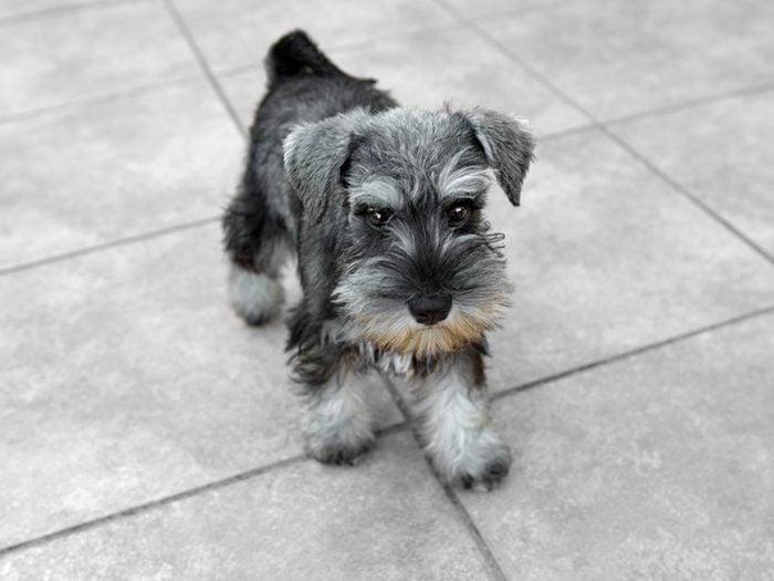 Le Schnauzer nain est l'une des races de chiens dont les chiots sont les plus mignons!