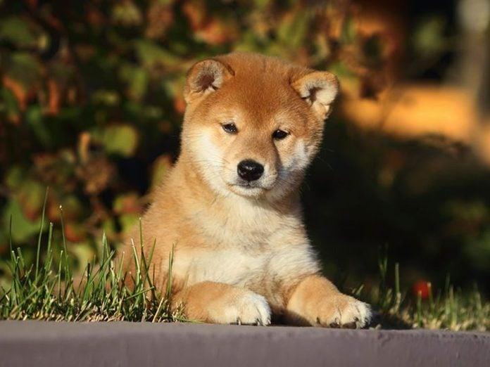 Le Shiba Inu est l'une des races de chiens dont les chiots sont les plus mignons!